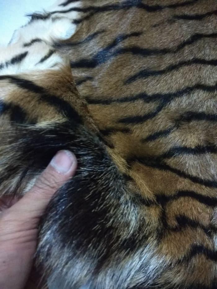 kulit terbaru harimau sumbawa